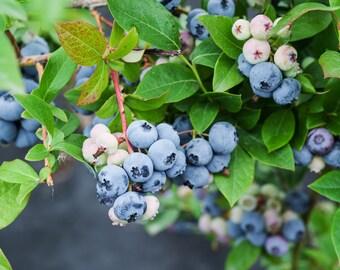 "Southern Blueberry 'Sunshine Blue' (Vaccinium corymbosum)  Live Plant Ships in 100% Biodegradable 4"" Coconut Fiber Planter"