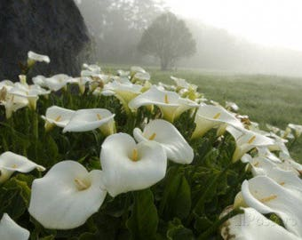 Calla Lily Flowers Scented Products Shower Gel, Whipped Body Butter, Lotion, Body Spray, Bath Soak, Shampoo or Conditioner