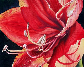 Amaryllis in Sunlight Prints