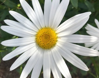 Nature photo - White Flower