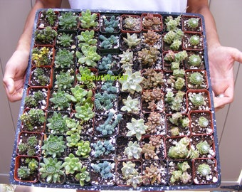 120 Assorted Succulent Plants 2 inch pot !! Great for wedding party favors
