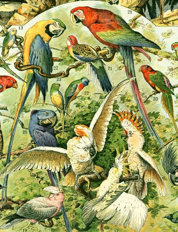 1897 Oiseaux, Rapaces, Perroquets, Hiboux, planche originale Larousse  planche illustrée grand format en couleur ancienne fin 19ème