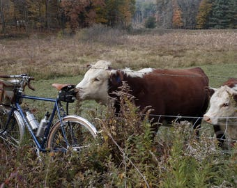Bicycle with cows, Leverett, Western Massachusetts