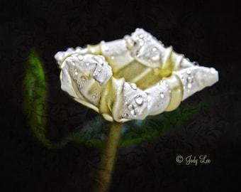 Moon Flower, Flower Photography, White Moon Flower, nature Photography, Black White, Wall Art, Art, Home Decor