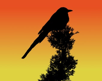 DIGITAL DOWNLOAD - Black-billed Magpie at Sunset