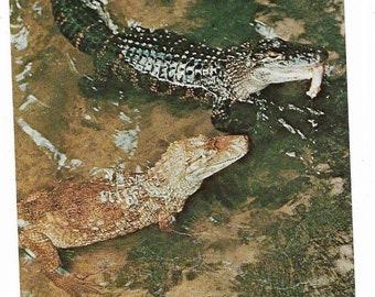 Vintage Florida Chrome Postcard St Petersburg Sunken Gardens Alligators UNUSED