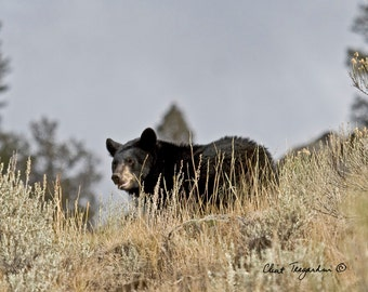 A pair of Black Bears in Yellowstone National Park, Original Fine Art Photography