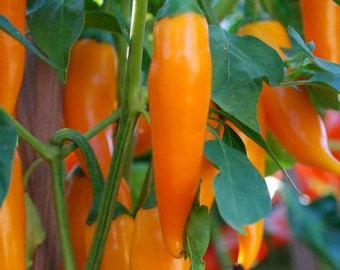 Hot Pepper Plant, Bulgarian Carrot Heirloom Organic