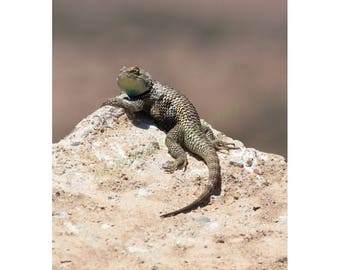 Nature photo print. Desert Spiny Lizard. Vertical print