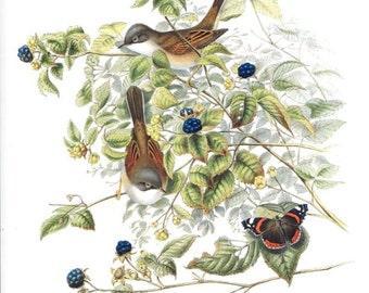 "Warbler -  Bird vintage print   - 9.2 "" x 12.6  inches  - A12"