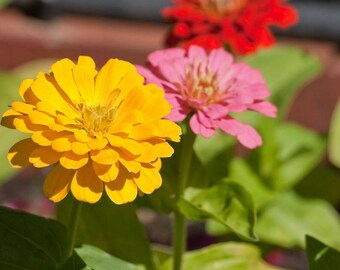 20 Zinnia Seeds, California Mix, Organic, Non GMO
