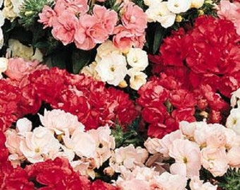 Phlox Seeds Promise Mix 50 Double Flower Phlox flower seeds Phlox drummon