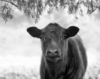 Cow Print or Canvas, Animal Art, Nature Photography, Black Cow Photograph, Black and White, Calf, Farm Decor, Rural, Country - Black Calf