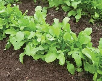 Arugula Seeds - Eruca sativa - Arugula Roquette - 1 gram packet - 500 seeds!