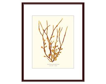 Pressed Seaweed Print, Ascophyllum Nodosum, Casco Bay, Maine.  Item # 20107 ep.