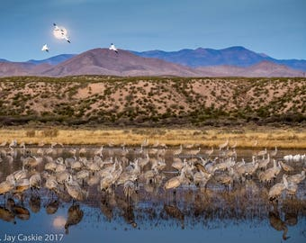 Sleeping Pond Moon - Sandhill cranes in a protective pond prior to the dawn lift-off to forage. Snow geese in the moon. Bosque del Apache
