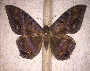 Black Witch Moth ( PLEASE READ DESCRIPTION details below )