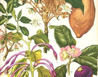 Vintage Botanical Print 1970 Color Art Wild Flowers Original Book PLATE 118 Beautiful Mango Purple Fruit White Pink Flowers Tropical Plants