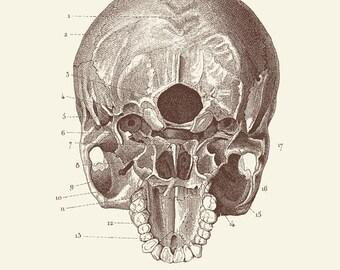 """Vintage Human Anatomy, Skull, """"L'anatomie Humaine"""" Print 8x10 P304"""