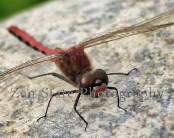 Red Dragonfly Wall Art Nature Photography Red Dragonfly Print Insect Photograph Unframed Photo Framed Photography Gallery Canvas Print