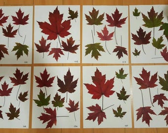 Real Pressed Leaves; Canada Maple Leaves