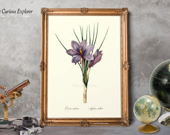 Botany Room Decor, Floral Nursery Decor, Crocus Bloom Poster, Vintage Crocus Print, Crocus Wall Art, Crocus Decor, Crocus Print - E11_19