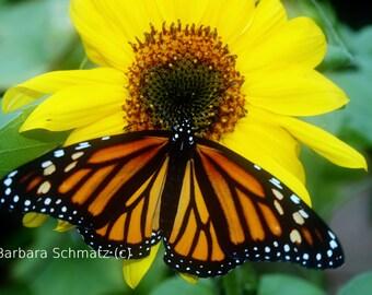 Monarch and Sunflower Fine Art Photograph