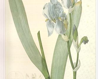 REDOUTE IRIS Vintage 1990 FLOWERS Color Art Print Frameable Botanical Original Book Plate 42 Beautiful Blue Iris Detailed Gorgeous Petals