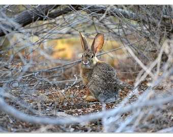 Desert Cottontail Rabbit Photo - Brown Bunny Rabbit Print - Nursery Art Bunny Print - Easter Bunny Rabbit Gift