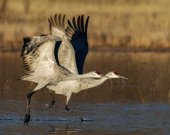 Sandhill Cranes in Flight Photo, Bosque del Apache, Birds in Flight, New Mexico, Nature Photography, SynVisPhotos,  Steve Traudt