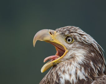 "12x12 Metal Print, ""Yawn!"" Juvenile Bald Eagle, Juneau, Alaska"