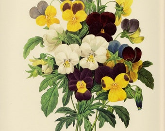 Vintage Redoute Print Romantic Bouquet of Purple and Yellow Pansies Print Botanical Cottage Decor White Gallery Wall Art pjr 3658