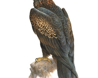 Wedge-tailed Eagle, bird painting, birds of prey, raptors, limited editions,
