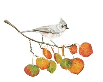 Tufted Titmouse on Quaking Aspen Branch