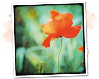 Dancing poppy - Nature - photo art signed 20x20cm