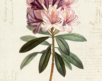 Vintage Botanical Flower Rhododendron on French Ephemera Print 8x10 P41