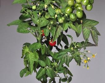 Tiny Tim tomato 10 seeds, Dwarf cherry tomato seeds, Tiny Tim bush tomato seeds, Miniature plant seeds, Cherry tomato seeds