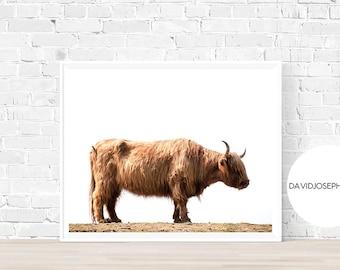 Highland Cow Print, Scottish Cow Print, Highland Cow Decor, Nursery, Farm Animal, Digital Download, Animal Photography, Cattle Photograph