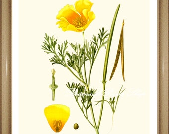 "California Poppy. Poppy Print #3. State Flower of California. Botanical Print. 5x7"", 8x10"" 11x14"""