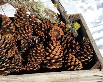 60 Northwest Montana Large Ponderosa Pinecones 4-6 inches