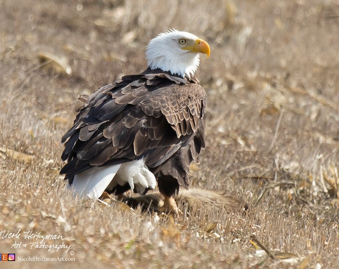 Eagle photography Eagle Print Bird of prey Wildlife Photo enthusiast Father's Day Gift Dad men Man Cave Cabin lodge Decor by Nicole Heitzman