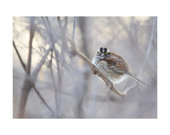 White Throated Sparrow in the winter in the ghostly branches - original 8x10 bird photograph on exquisite cotton watercolor paper