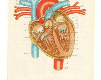 Anatomically correct heart, human heart diagram, anatomy anatomical heart anatomy art print medical student gift anatomic heart