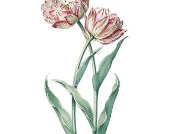 Vintage TULIPS Flower Art Cottage Chic Tulip Art Print Antique Pink Red White Flowery Petals Open Tulips Blooming Digital Graphic Download