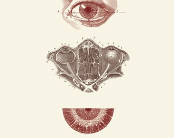 "Vintage Human Anatomy, Eyes,  ""L'anatomie Humaine"" Print 8x10 P247"
