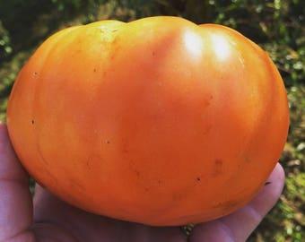 15 Giant persimmon tomato seeds--1378