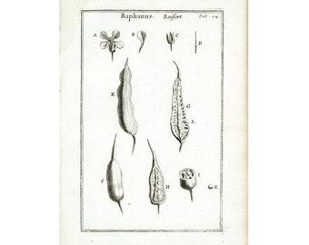 1797 Raifort Gravure Originale Plante condimentaire Eléments Botanique Tournefort Histoire Naturelle Cuisine deco murale