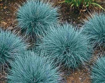 Festuca Glauca - Blue Grass - 150 Seeds