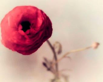 Red Ranunculus Flower Print, Floral Art Print, Red Wall Decor, Flower Art, Romantic Bedroom Decor
