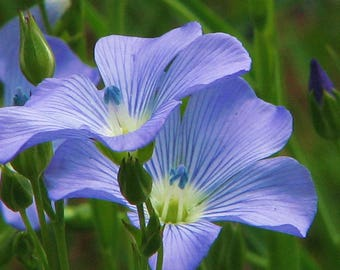 Blue flax 100+ seeds organic, newly harvested, beautiful blue flowers